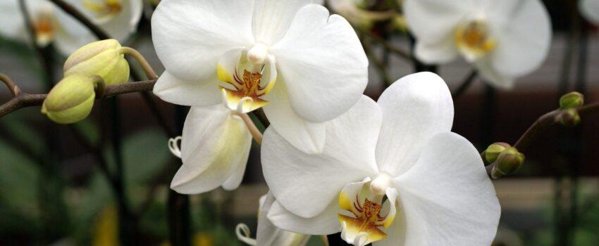 orkide anlamı