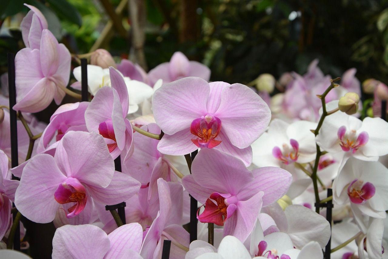 orkide anlamları