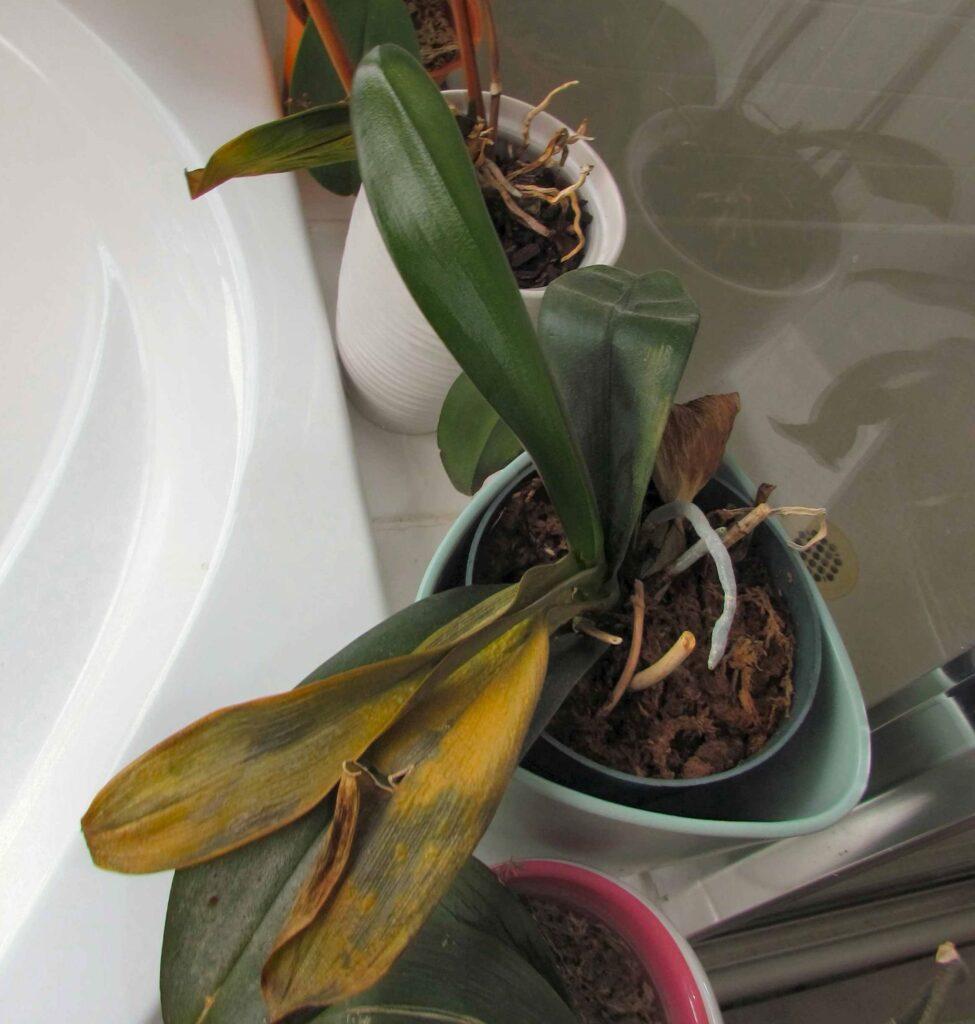 orkide sarı yaprak