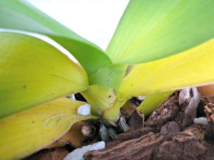 orkide yaprak sararmsı