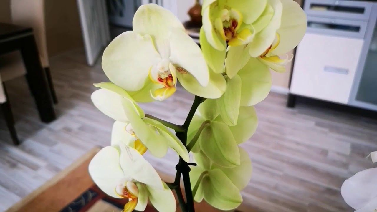 orkide güneşi sever mi