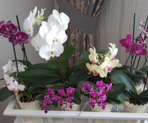 Orkide kökleri çürüdü ne yapmalıyım