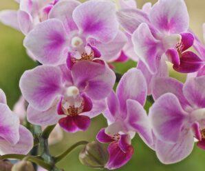 orkide nasıl çiçek açar