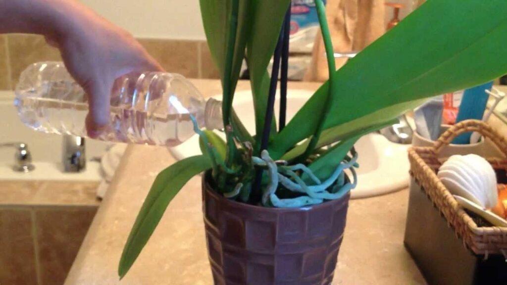 Orkide nasıl doğru sulanır