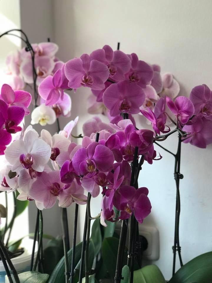 Orkide vitamini