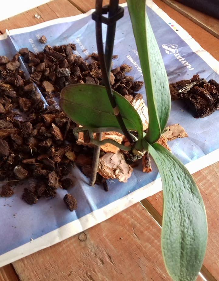 Orkidenin yeni dal vermesi için ne yapmalı
