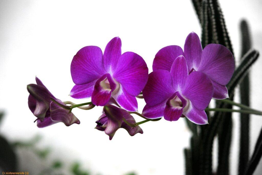 mor orkide bakımı