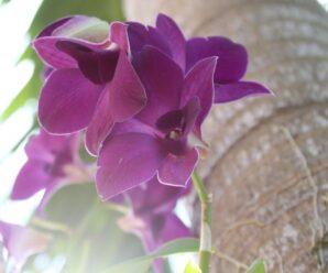 mor orkide bakım ipuçları