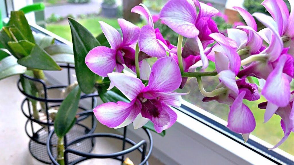 orkide yetiştirme