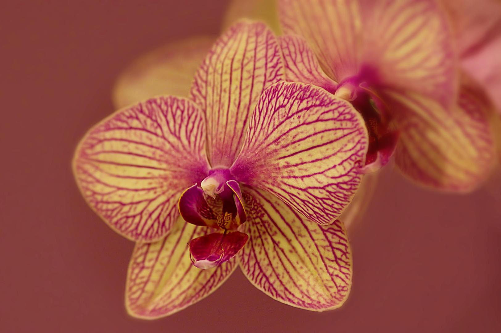 orkideler nerede yetişir ?